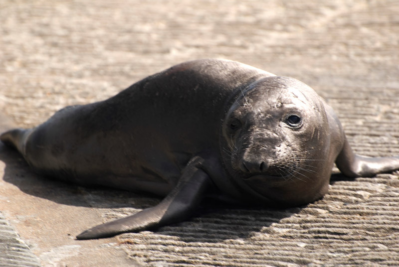 Northern Elephant Seal Pup