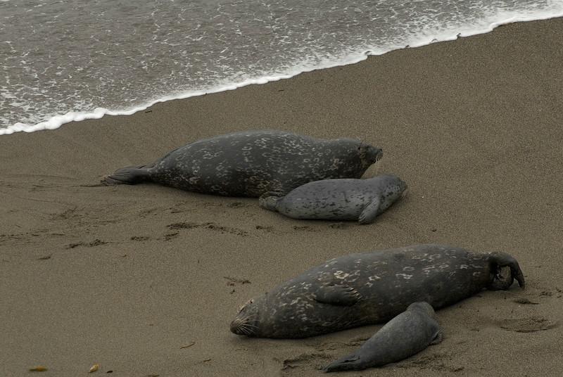 Harbor Seals & Pups