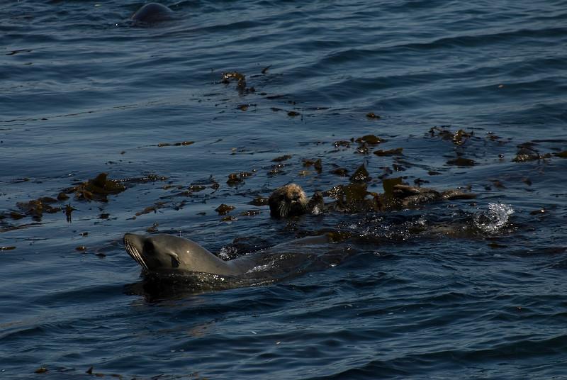California Sea Lion & Female Sea Otter