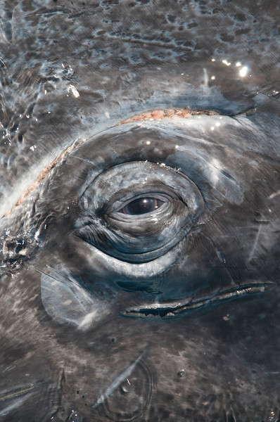 Eye of a Gray Whale ,Eschrichtius robustus,, San Ignacio Lagoon, Baja California, Mexico.