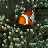 False clown fish, Amphiprion ocellaris or anemonefish.