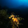 Leafy sea dragon (Phycodurus eques), Kangaroo Island, Australia