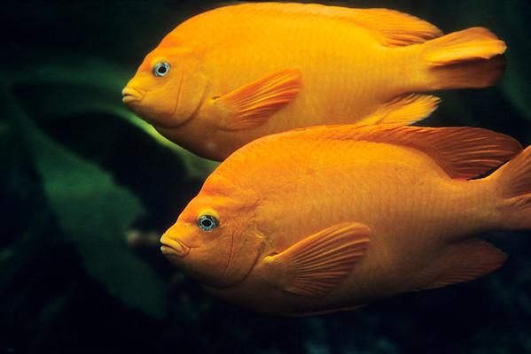 Garibaldi, Hypsypops rubicundus, Pair of damselfish cruising the pacific ocean