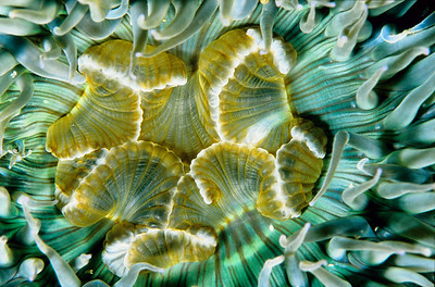 Aggregating Anemone, Anthopleura elegantissima, Pacific Coast of North America.