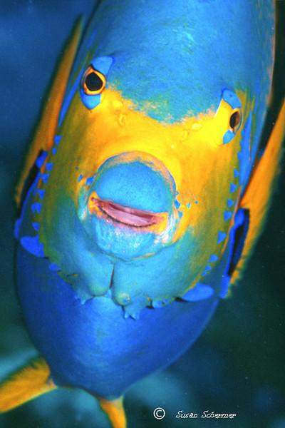 Angel Face:  Key Largo Marine Sanctuary
