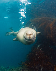California Sea Lion swimming underwater, Zalophus californianus