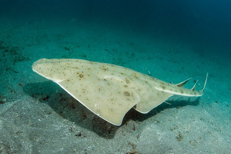 Pacific Angel Shark swimming over sandy bottom.  Squatina californica
