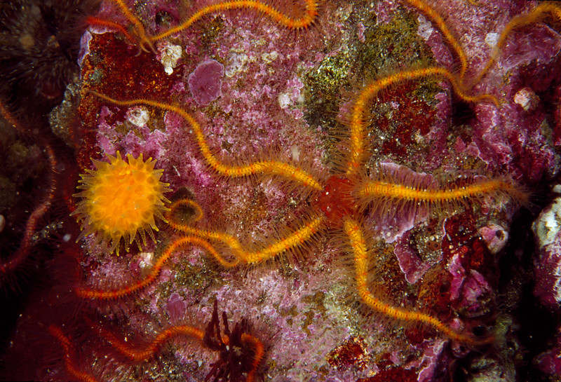 Orange Cup Coral and Brittle Sea Star