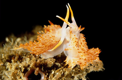 Rickett's Aeolid nudibranch ,Catriona rickettsi, California, USA, Pacific Ocean.