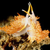Rickett's Aeolid nudibranch ,Catriona rickettsi, California, USA, Pacific Ocean.