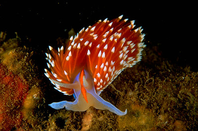Nudibranch, Hermissenda crassicornis, California, USA, Pacific Ocean.