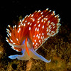 Nudibranch, Hermissenda crassicornis, California, USA, Pacific Ocean.