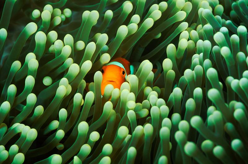 False clown fish, Amphiprion ocellaris or anemonefish.