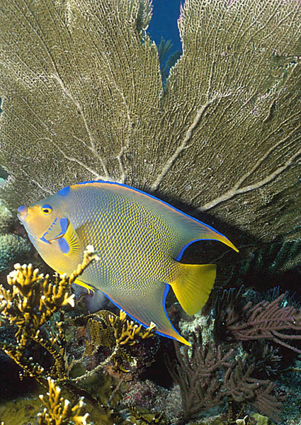 Queen Angel Fish on Key Largo Reef
