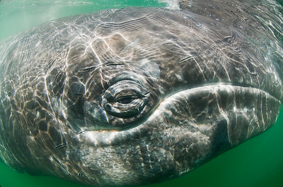 Gray Whale Close up underwater