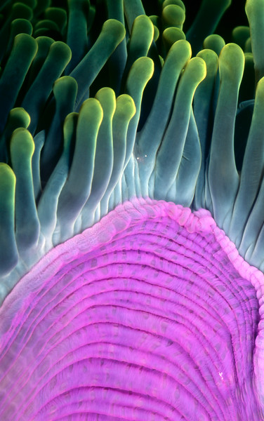 Purple Magnificent sea anemone close-up, Heteractis magnifica