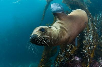 California Sea Lion swimming underwater, Zalophus californianus