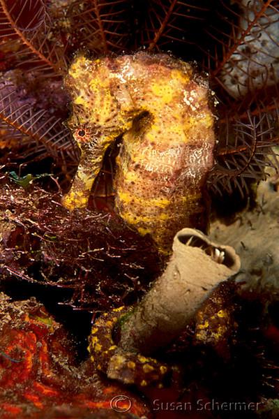 Longsnout Seahorse (Hippocampus reidi), Caribbean