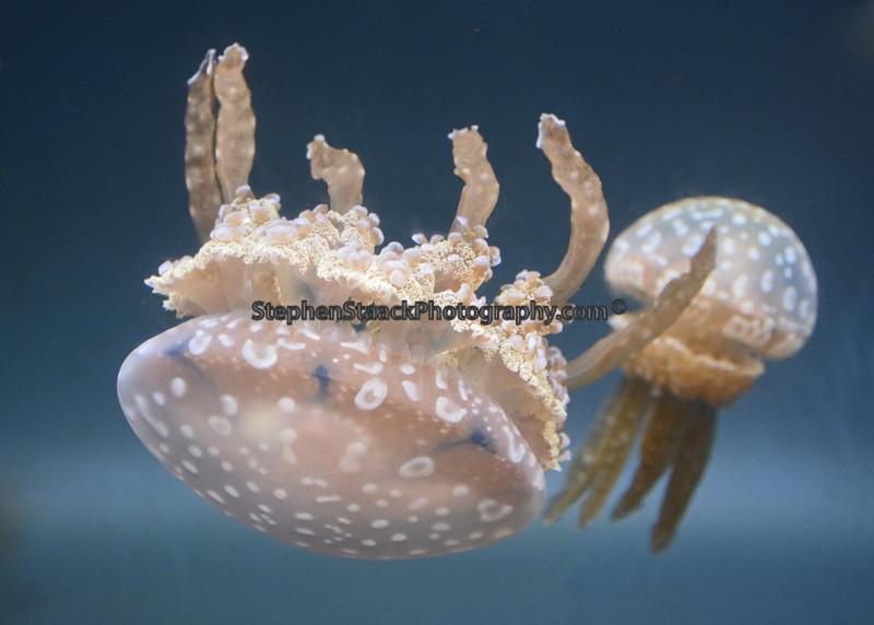 Jellyfish swimming