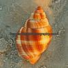Common Nutmeg shell.