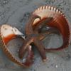 Atlantic giant cockle and live starfish