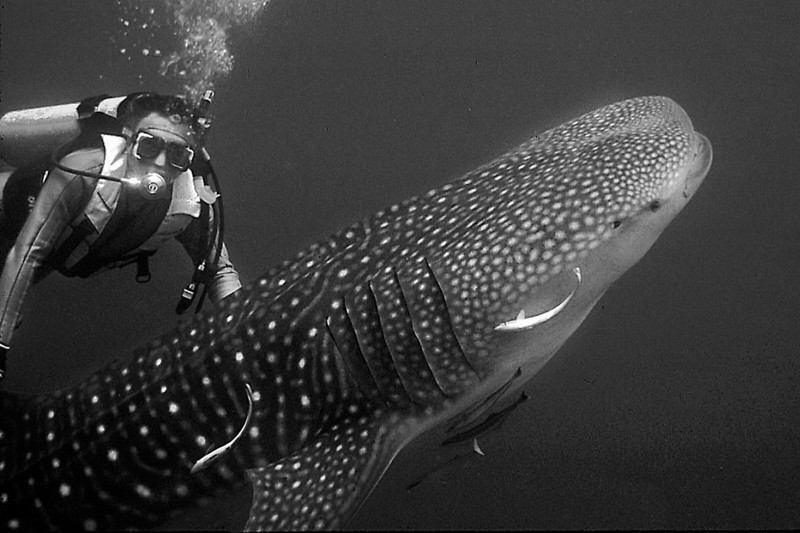 Mickey with Whale Shark: Red Sea