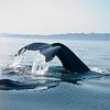 Humpback Whale Fluke just before diving