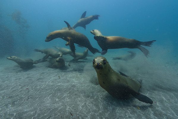 The California Sea Lion is a friendly pinniped who lives up and down the pactific coast of North Amera.  This group was photographed at the sea lion rookery in Santa Barbara Island