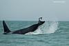 Orca fishing tequniques