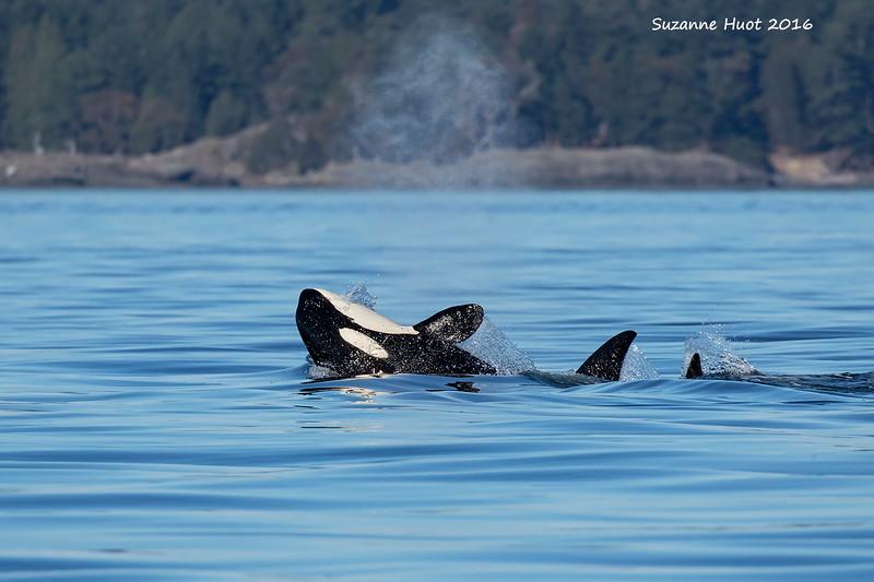 Transient Orca  T26  Pod