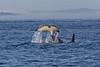 Orca Tail lobbing.