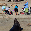 Bull Elephant Seal Coming Ashore Where there are People