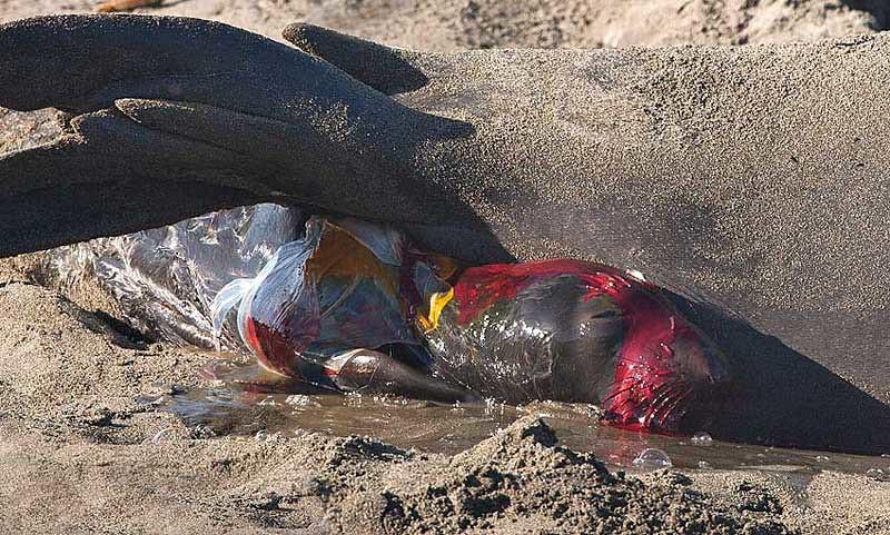 Birth of an Elephant Seal