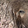 Closeup of Old, Scarred Elephant Seal Bull
