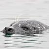 Harbor Seals come in a variety of colors, but all have spotting and ear holes with no external ear parts