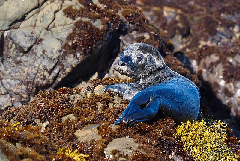 Young Harbor Seal Pup
