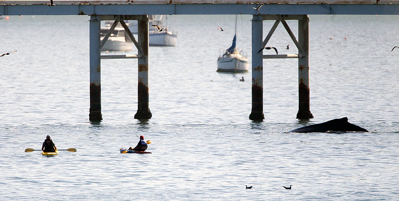 Kayakers near a Humpback by the Cal Poly Pier