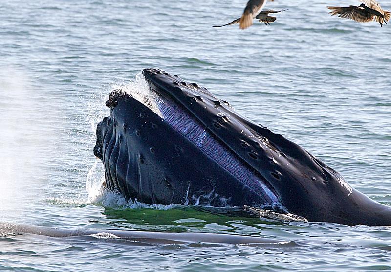 Humpback Baleen Showing