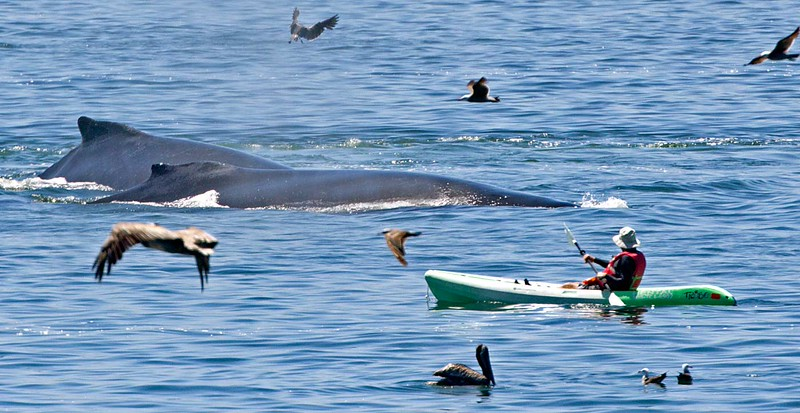 When the word gets out that the Humpbacks are hanging around, kayakers, paddle boarders and small boats are out to see the action up close and personal. It has to be quite a thrill. I haven't seen a whale surface under a kayaker yet.