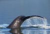 Humpback Whale sounding.