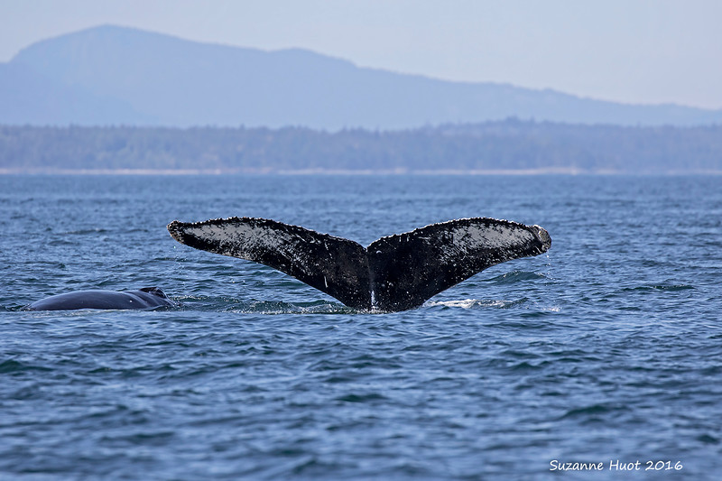 Humpback whale with calf.