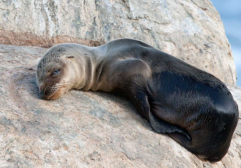 """Sea lions are brown, bark loudly, """"walk"""" on land using their large flippers and have visible ear flaps. <br /> Seals have small flippers, wriggle on their bellies on land, and lack visible ear flaps."""
