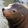 "Sea lions are brown, bark loudly, ""walk"" on land using their large flippers and have visible ear flaps. <br /> Seals have small flippers, wriggle on their bellies on land, and lack visible ear flaps."
