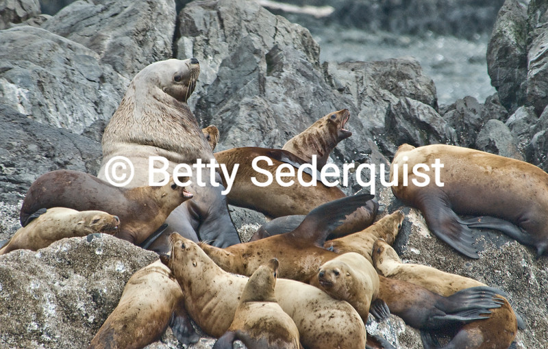 A Sea Lion Bull Presides over His Harem