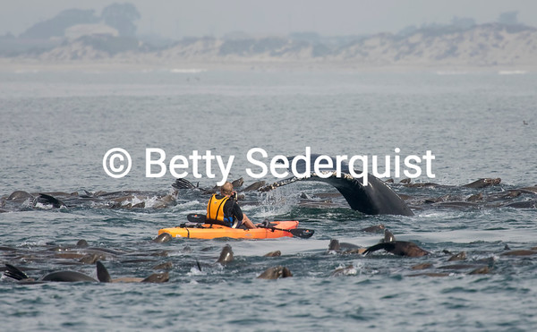 Kayaker Up Close with Whales and Sea Lions, Monterey Bay
