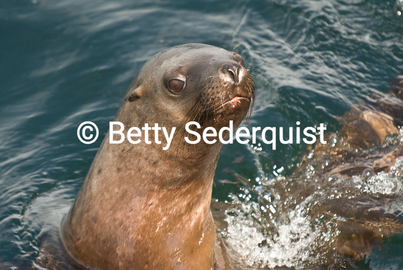 Closeup of Steller Sea Lion