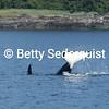 Lobtailing Orca
