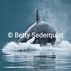 Partial Orca Breach
