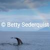 Humpback Whale Fluke and Rainbow, Frederick Sound