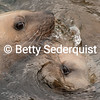 Two Sea Lions Entwine with Each Other